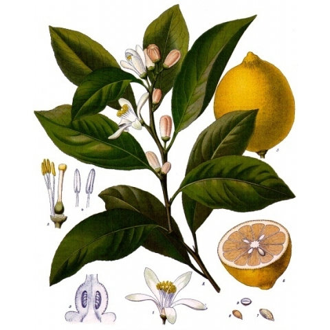 Lemon (FCF)